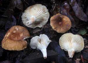 Lactarius sp. 1