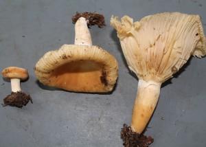 Lactarius sp. 11