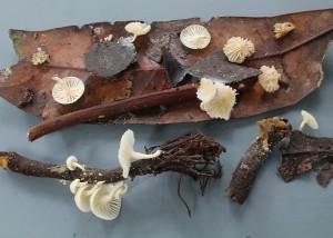 Lactarius sp. 18
