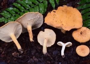Lactarius sp. 6